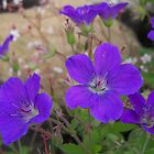 Purple Geranium by kookaburra