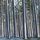 Forest trees in winter by Mike Paget