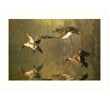 Pintails Art Print