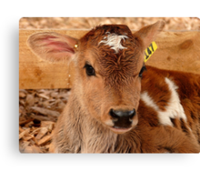 Umm.. If I Win The Beauty Pageant...I Will Promote World Peace...- Calf - NZ Canvas Print