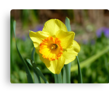 Dance With Daffodils On A Spring Breeze - Daffodil - NZ Canvas Print