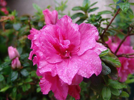 Marching into Pink Azalea - in the morning dew Los Angeles, CA, (182 Views as of 8-26-2010) by leih2008