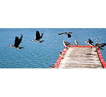 Birds of Lakes Entrance Photographic Print