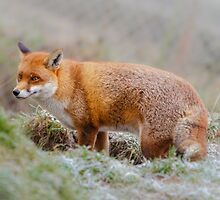 Frosty fox by Dave  Knowles
