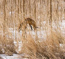 Red Fox Hunting by Jay Ryser