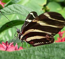 Zebra Longwing on Flowers by mwfoster