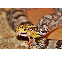 A Corn Snake Eating A Mouse With Tail Sticking Out Photographic Print