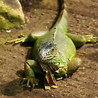 Iguana Lazying Around At The Butterfly Farm by Joel Kempson