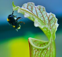 Macro - Bee Collecting Nectar From A Sarracenia & Hanging On For Dear Life Part 1 by Joel Kempson