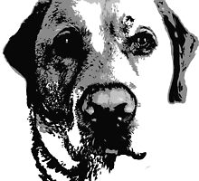 Black and White Labrador  by Rachel Counts