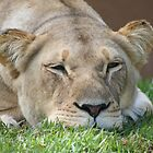 relaxed lion by sassey