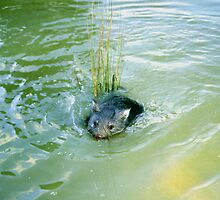 Baby Wombats Can Swim! by Asoka