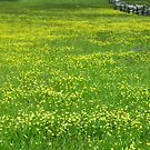 Field of Buttercups by Karin  Hildebrand Lau