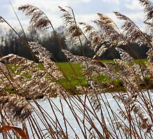 Glittering reeds by jdmphotography