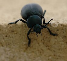 black insect calosoma by mtths