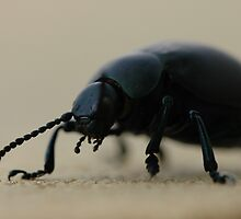 black calosoma beetle by mtths