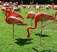 Chilean Flamingos 1 by kevint