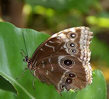 Butterfly House Guest by Jim Caldwell