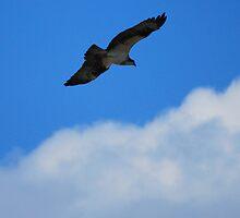 Graceful Osprey by madman4