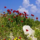 Poppies against blue sky by kevomanno