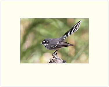 "Grey Fantail ~ ""Meal Break"" by Robert Elliott"
