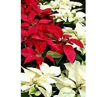 Poinsettias Sprinkled with Raindrops Photographic Print