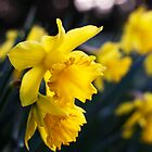 Daffodil Day by Donncha O Caoimh