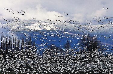 Snow Geese in the Skagit by Tom Vaughan