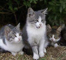 3 kittens by Moshe Cohen