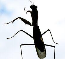 Phuket Preying Mantis by David Clarke