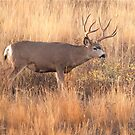 Muley by Rodney55