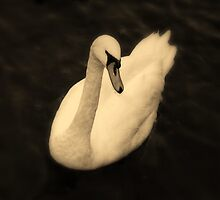 Windermere Swan by Chele Willow