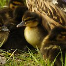 Baby ducks by Taka