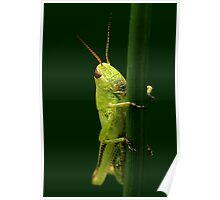 Meadow Grasshopper Poster