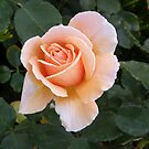 Peach coloured Rose by oiseau