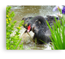 Warning.... Do Not Disturb A Mother In Waiting!! - Black Swan - NZ Canvas Print