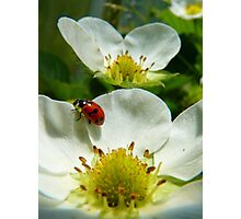 The Strawberry Lady... - Ladybird On Strawberry Flower - NZ Photographic Print
