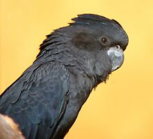 Black Is Black... I Want My Baby Back... - Black Cockatoo - NZ by AndreaEL