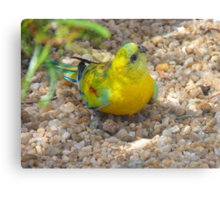 Oooh!! Do You Have A Treat? - Red-Rump Parrot - Otago Canvas Print