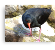 Final Warning...Don't Come Any Closer... - Oyster Catcher - NZ Canvas Print