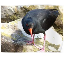 Final Warning...Don't Come Any Closer... - Oyster Catcher - NZ Poster
