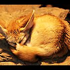 Sleeping fennec by Jörg Holtermann