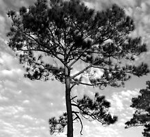 Tree Quartet IV - Florida Pine by marie groves