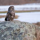 Great Grey Owl by Michael Cummings