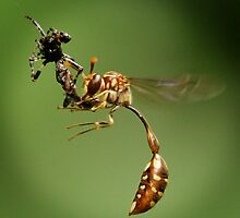Wasp nibbling spider by insecthunter