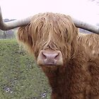 14Yr Old Scottish Highland cow  by Daniel Knights