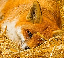 Fox in the straw by Dave  Knowles