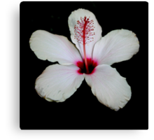 White Hibiscus Isolated on Black Background Canvas Print
