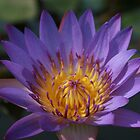 Purple Water Lily at Royal Palace, Cambodia by Leigh Penfold