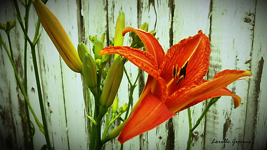 Daylily by Lorelle Gromus